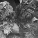 Bolonka breed historical photographs